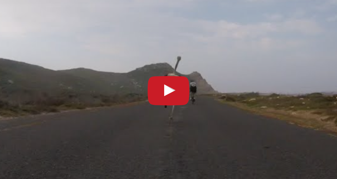Image of 【動画】自転車vsダチョウでスピード対決!!ダチョウの速さは時速50km超